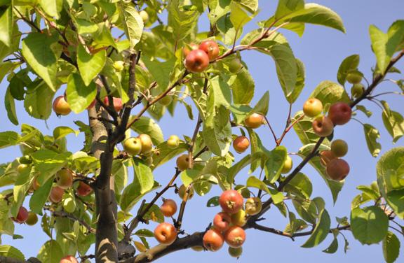 Dachterrassen S - Apfelbaum - Ausschnitt