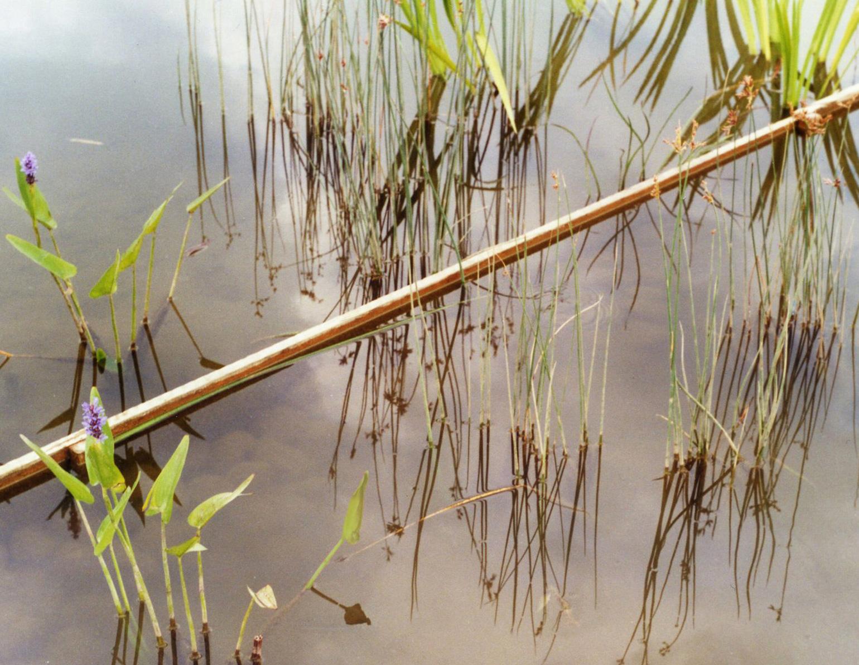 Wasserfläche mit Schilf